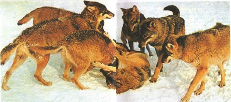 Группа играющих молодых волков. Волк, без сомнения, является одним из предков собаки
