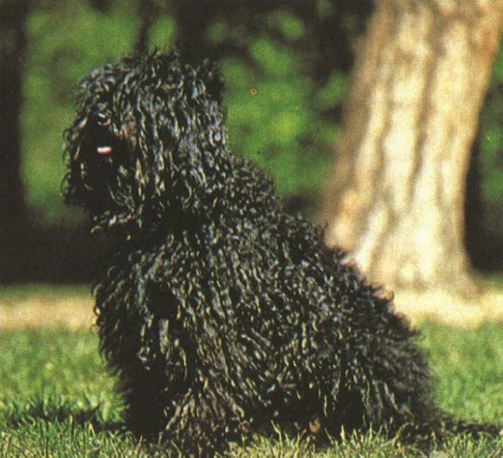ПУЛИ (Венгерская водяная собака)