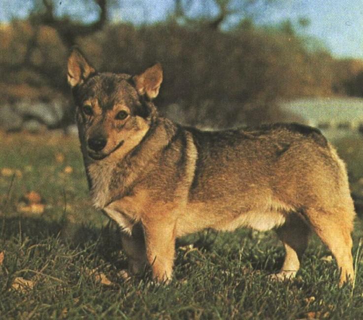ШВЕДСКИЙ ВАЛЬХУНД (вестготская собака)