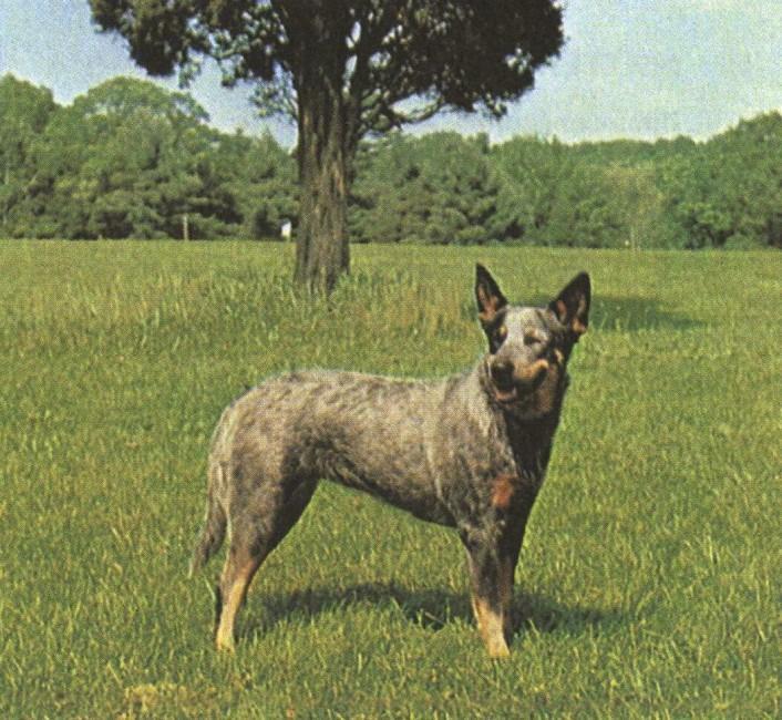 АВСТРАЛИЙСКАЯ ПАСТУШЬЯ СОБАКА Australian cattle dog
