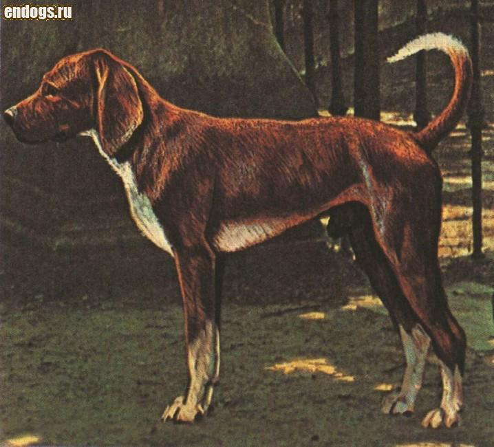 ТРИГГХАУНД Trigg hound