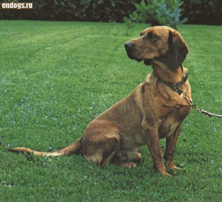 ТИРОЛЬСКИЙ БРАКК Tyrolean hound