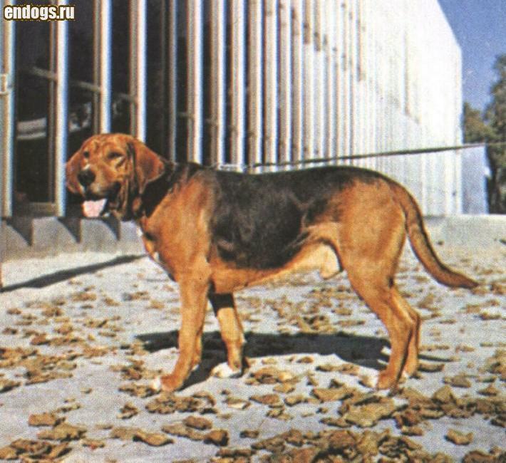 ПОЛЬСКАЯ ГОНЧАЯ Polish hound