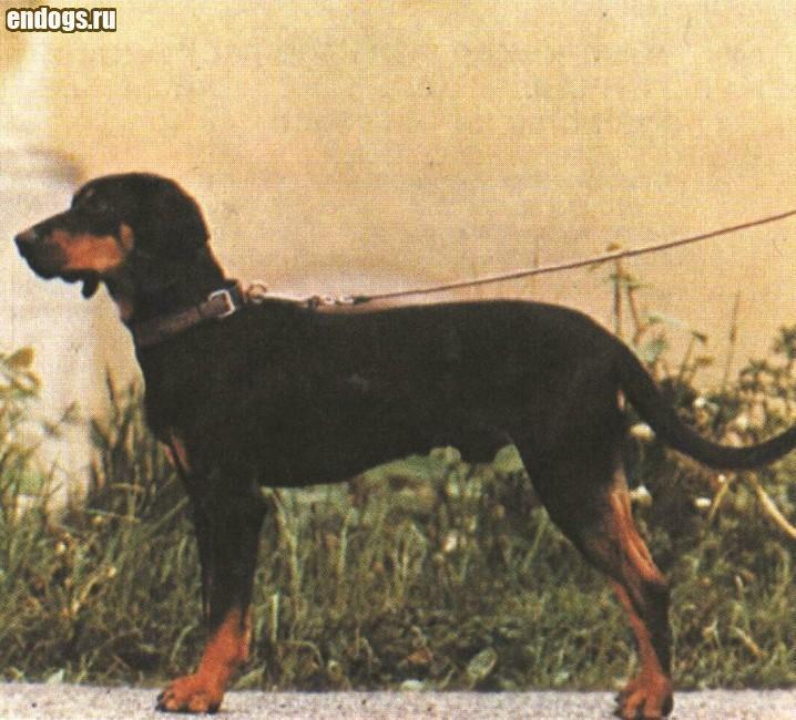 АВСТРИЙСКАЯ ГОНЧАЯ Austrian hound