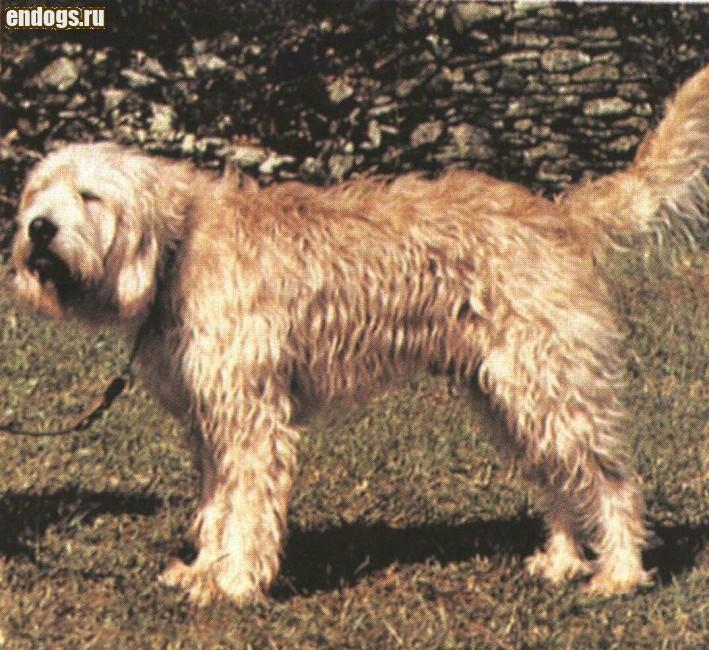 ОТТЕРХАУНД (Выдровая собака)
