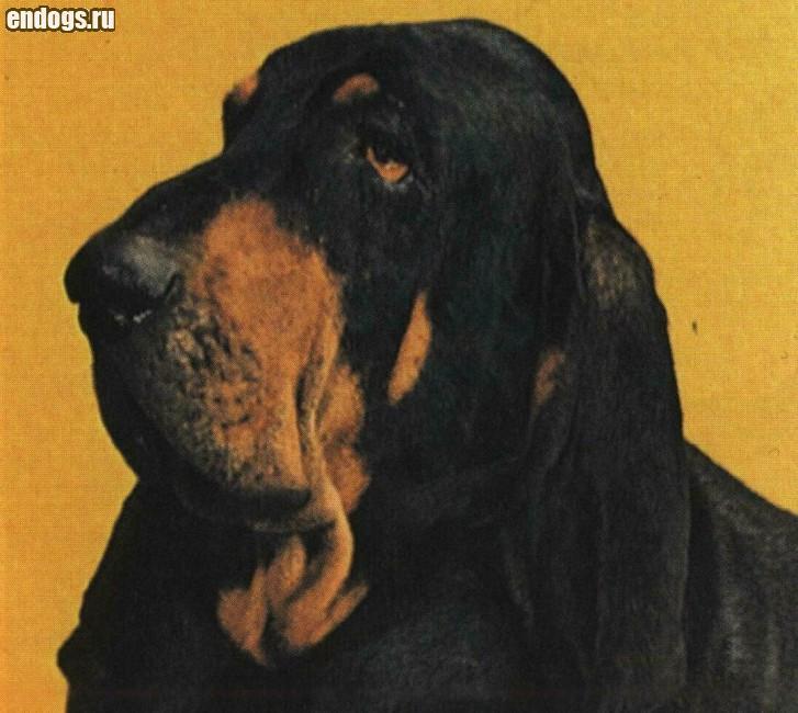 ЧЕРНО-ПОДПАЛЫЙ КУНХАУНД (Енотовая собака)